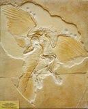 Fossile d'archéoptéryx trouvé en Allemagne image libre de droits