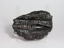 Fossile de bélemnite Photos stock