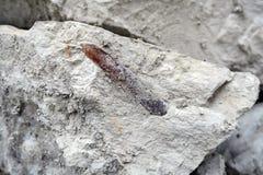 Fossile de bélemnite dans la carrière de roche de craie Images stock