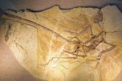 Fossile de dinosaure Photographie stock libre de droits