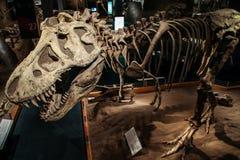 Fossile de dinosaure stupéfiant de rex de tyrannosaure, musée royal de Tyrrell de la paléontologie, Alberta, Canada photos stock