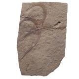 Fossile de feuille d'usine d'ammonite dans la pierre pour à énérgie de combustion, d'isolement sur le blanc Photos stock