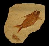 fossile de poissons Photos libres de droits