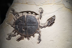 Fossile de tortue - détails photo stock