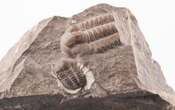 Fossile de Trilobite du peroid tôt de Cammbrian Photographie stock libre de droits