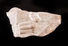Fossile de Trilobite du peroid tôt de Cammbrian Image stock
