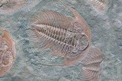 Fossile de trilobite - vue de détail Photos libres de droits