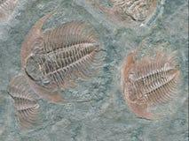 Fossile de trilobite - vue de détail Images stock
