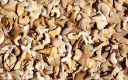 Fossile dei denti dello squalo e di quei reali Fotografia Stock