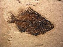 Fossile dei pesci Fotografia Stock Libera da Diritti