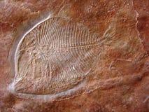 Fossile dei pesci Immagine Stock Libera da Diritti