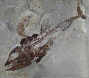 Fossile dei pesci Fotografie Stock Libere da Diritti