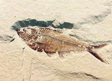 Fossile del pesce in una parete immagine stock libera da diritti