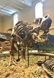 Fossile del primo tirannosauro Rex scoperto nel mondo fotografia stock libera da diritti