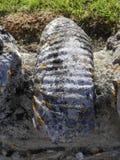 Fossile dell'ammonite incastonato in pietra Immagine Stock Libera da Diritti