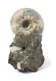 Fossile dell'ammonite sopra su bianco Immagini Stock
