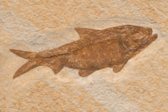 Fossile dell'aringa di Knightia Immagine Stock Libera da Diritti