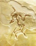 Fossile dell'uccello Immagine Stock Libera da Diritti