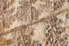 Fossile della pianta Fotografie Stock Libere da Diritti