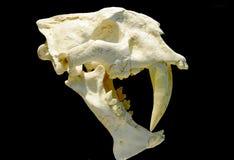 Fossile della tigre Saber-toothed Fotografie Stock Libere da Diritti