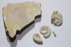 Fossile des gastéropodes