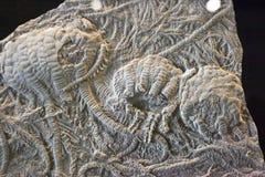 Fossile di crinoide Immagini Stock Libere da Diritti