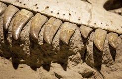 Fossile di dinosauro Immagini Stock