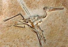 Fossile di Elegans del Pterodactylus Fotografia Stock Libera da Diritti
