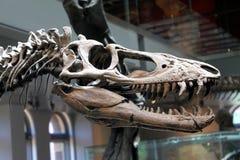 Fossile di Rex di tirannosauro in un museo fotografia stock libera da diritti