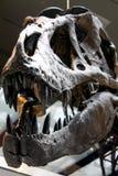 Fossile di Rex di tirannosauro in un museo immagini stock libere da diritti