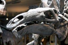 Fossile di stegosauro in un museo fotografie stock