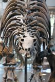 Fossile di stegosauro in un museo fotografia stock libera da diritti