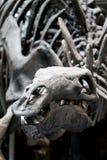 Fossile di stegosauro in un museo fotografia stock