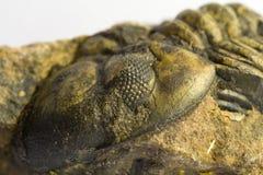 Fossile di trilobite Fotografie Stock Libere da Diritti
