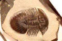 Fossile di trilobite Fotografia Stock