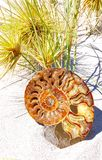 Fossile en spirale d'ammonite Photos stock