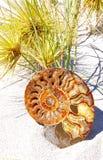 Fossile en spirale d'ammonite Photos stock