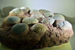 Fossile erbivoro dell'uovo di dinosauri Fotografia Stock Libera da Diritti