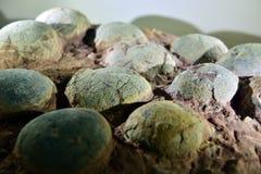 Fossile herbivore d'oeufs de dinosaures images libres de droits