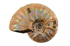 Fossile i d'ammonite Photos stock