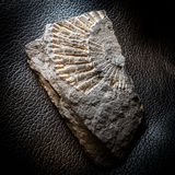 Fossile nella roccia metamorfica dello scisto Fotografia Stock
