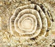 Fossile préhistorique Photographie stock