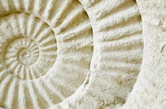 Fossile préhistorique d'ammonite Photos libres de droits