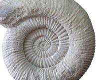 Fossile préhistorique d'ammonite sur le blanc Photos stock