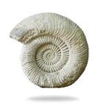 Fossile préhistorique d'ammonite sur le fond blanc Photos libres de droits