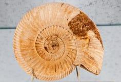 Fossile - vieux trilobite Photos libres de droits