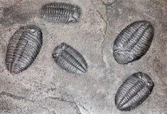 Fossile - vieux trilobite Photo libre de droits
