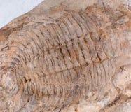 Fossile - vieux trilobite Photos stock
