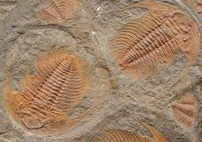 Fossiles Images libres de droits