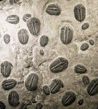 Fossiles antiques de trilobites Image libre de droits